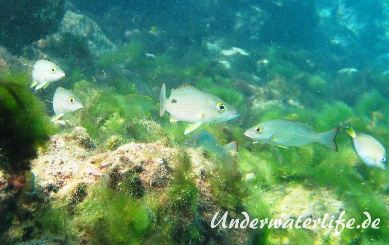 Mahagony-Schnapper_adult-Karibik-2014-001
