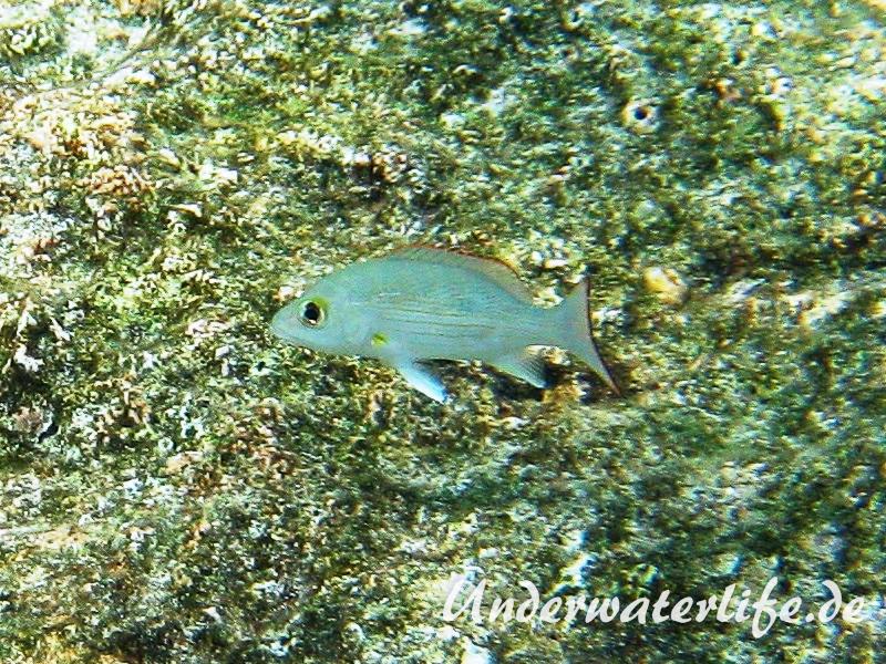 Mahagony-Schnapper_adult-Karibik-2014-002