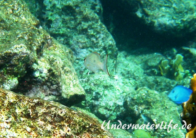 Mahagony-Schnapper_adult-Karibik-2014-004