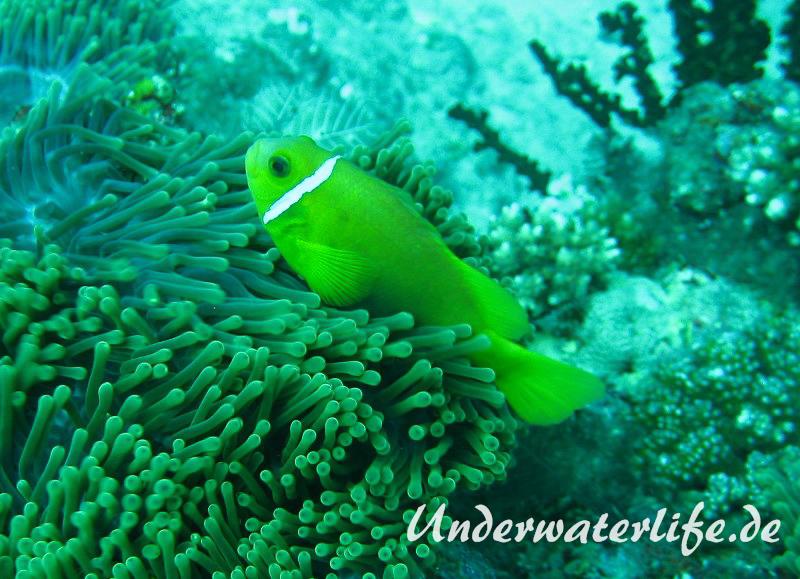 Malediven-Anemonenfisch_adult-Malediven-2013-01