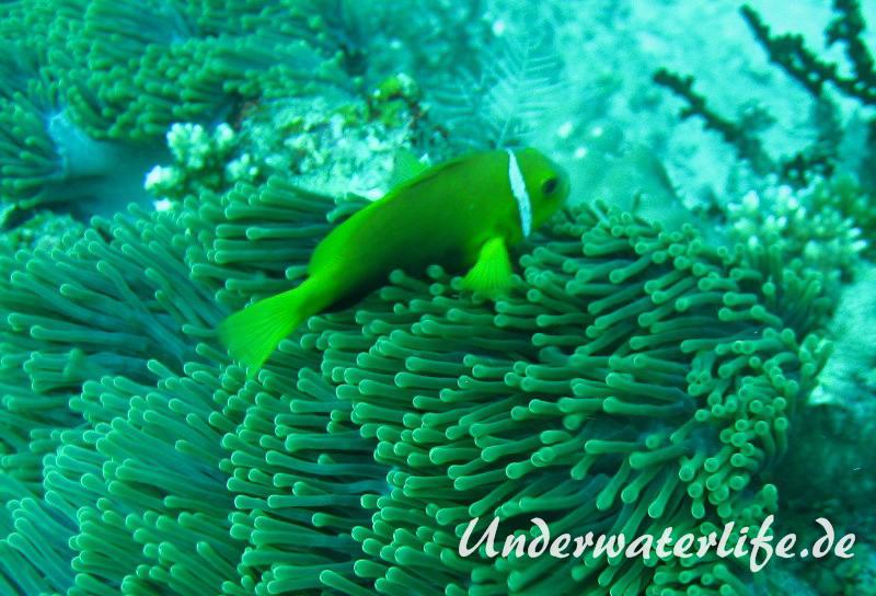 Malediven-Anemonenfisch_adult-Malediven-2013-02