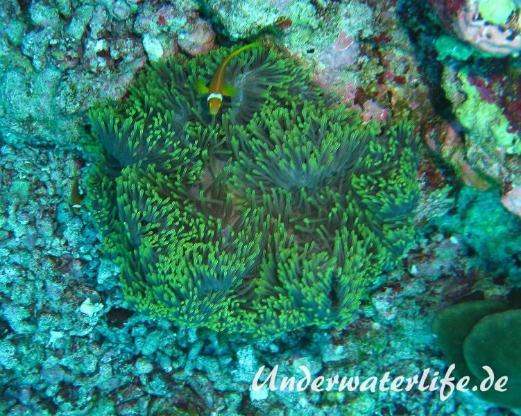 Malediven-Anemonenfisch_adult-Malediven-2013-08