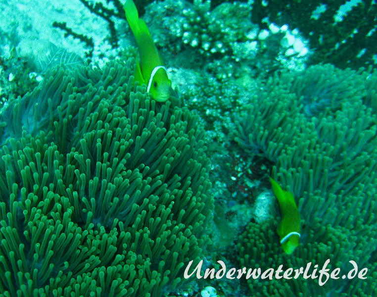 Malediven-Anemonenfisch_adult-Malediven-2013-09