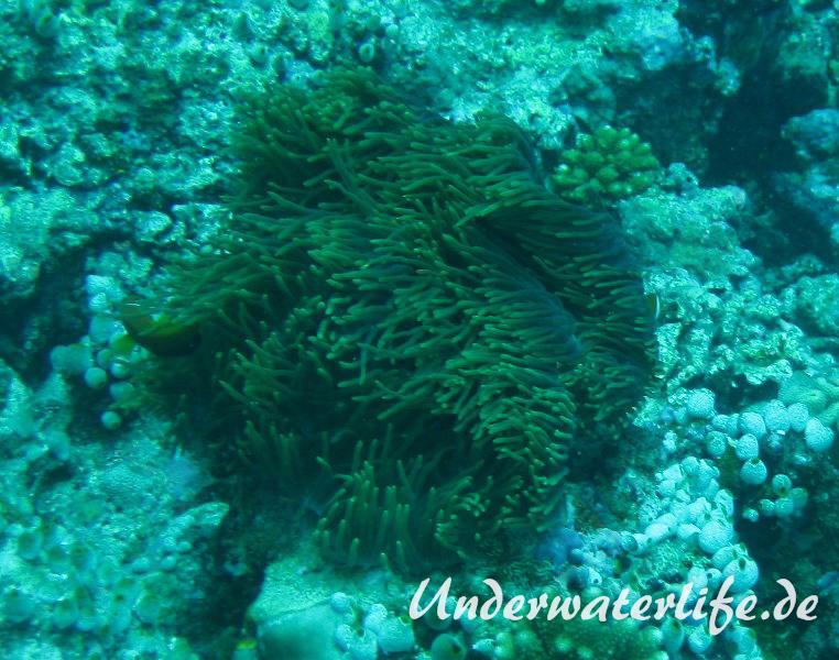 Malediven-Anemonenfisch_adult-Malediven-2013-11