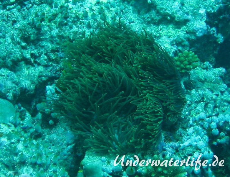Malediven-Anemonenfisch_adult-Malediven-2013-12