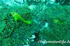 Malediven-Anemonenfisch_adult-Malediven-2013-04