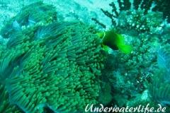 Malediven-Anemonenfisch_adult-Malediven-2013-05