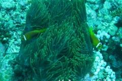Malediven-Anemonenfisch_adult-Malediven-2013-06