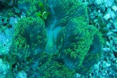 Malediven-Anemonenfisch_adult-Malediven-2013-10