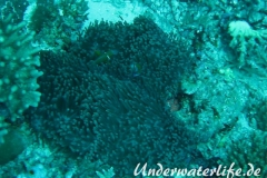 Malediven-Anemonenfisch_adult-Malediven-2013-13