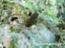 Indik Dreiflosser- Tripterygiidae- Triplefins