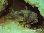 Masken-Igelfisch (Diodon liturosus) Indopazifik