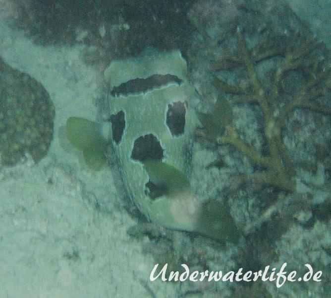 Masken-Igelfisch_adult-Malediven-2013-01