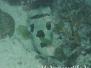 Masken-Igelfisch (Diodon liturosus) Indik