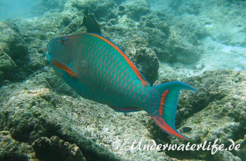 Masken-Papageifisch-Maennchen_adult-Malediven-2013-01