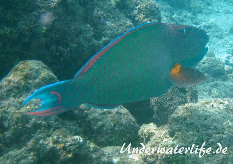 Masken-Papageifisch-Maennchen_adult-Malediven-2013-02
