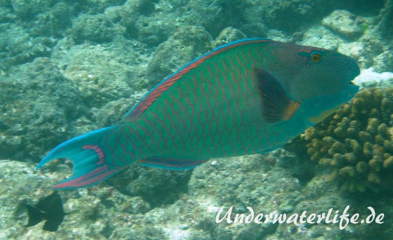 Masken-Papageifisch-Maennchen_adult-Malediven-2013-03