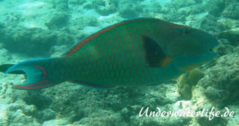 Masken-Papageifisch-Maennchen_adult-Malediven-2013-04