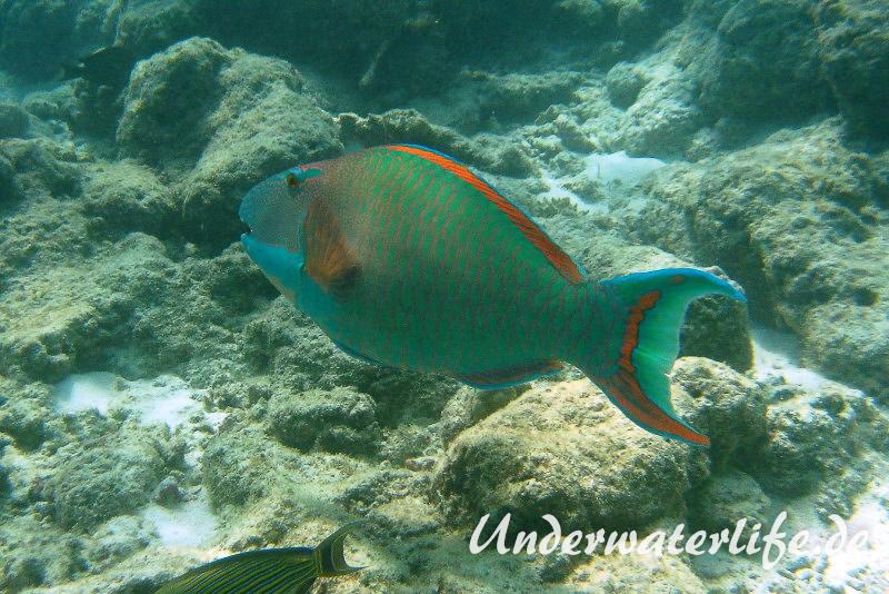 Masken-Papageifisch-Maennchen_adult-Malediven-2013-05