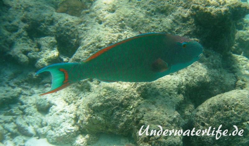 Masken-Papageifisch-Maennchen_adult-Malediven-2013-06
