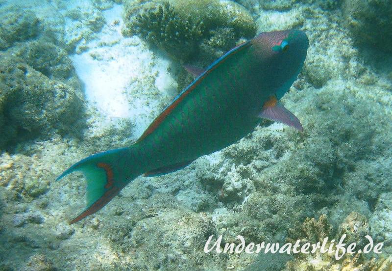 Masken-Papageifisch-Maennchen_adult-Malediven-2013-07