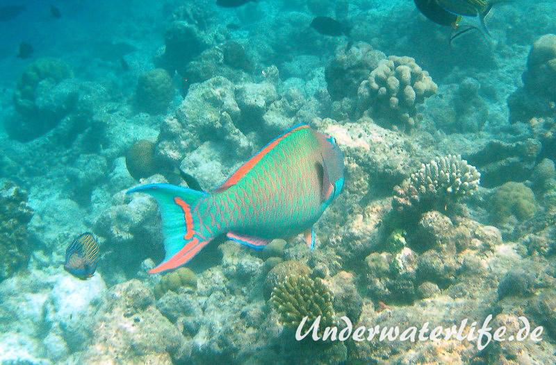 Masken-Papageifisch-Maennchen_adult-Malediven-2013-08