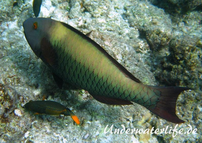 Masken-Papageifisch-Weibchen_adult-Malediven-2013-01