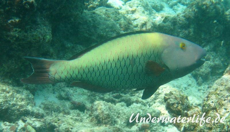 Masken-Papageifisch-Weibchen_adult-Malediven-2013-02