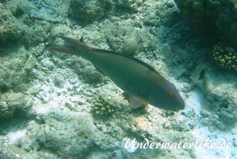 Masken-Papageifisch-Weibchen_adult-Malediven-2013-03