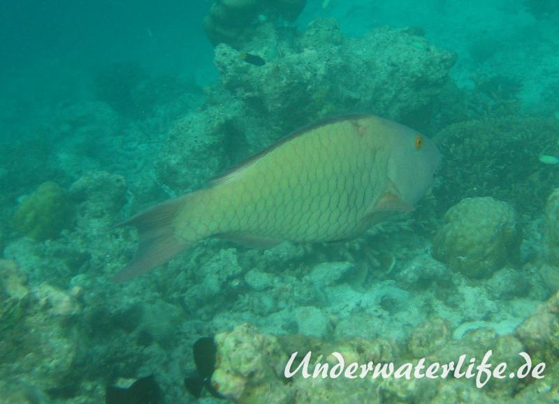 Masken-Papageifisch-Weibchen_adult-Malediven-2013-04
