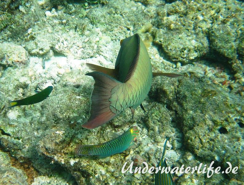Masken-Papageifisch-Weibchen_adult-Malediven-2013-05