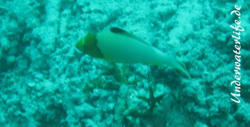 Masken-Papageifisch_juvenil-Malediven-2013-01 (2)
