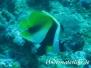 Masken-Wimpelfisch (Heniochus monocerus)