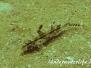 Meerbarbe (Upeneus oligospilus)