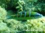 Meerpfau (Thalassoma pavo)