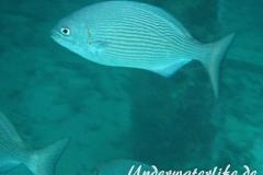 Messing-Ruderbarsch_adult-Malediven-2013-02