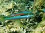 Mittelmeer Junker (Coris julis)
