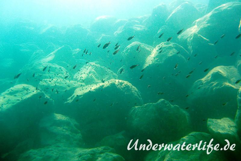 Moenchsfisch_adult-Dubrovnik-2015-007