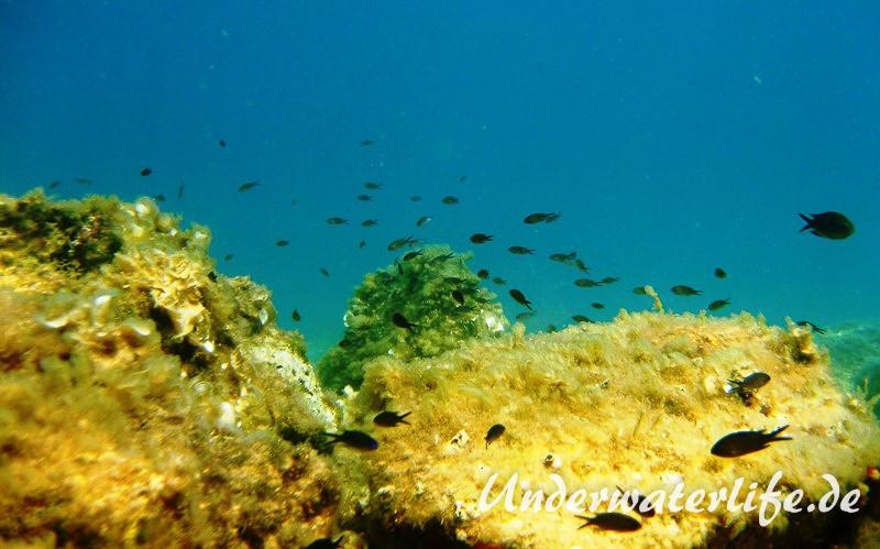 Moenchsfisch_adult-Dubrovnik-2015-013