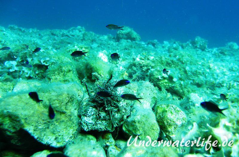 Moenchsfisch_juvenil-Dubrovnik-2015-002