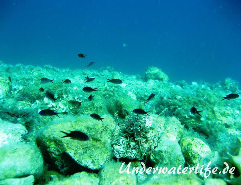 Moenchsfisch_juvenil-Dubrovnik-2015-003