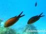 Mittelmeer-Mönchsfisch (Chromis chromis)