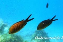 Moenchsfisch_adult-Dubrovnik-2015-001