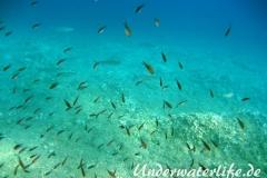 Moenchsfisch_adult-Dubrovnik-2015-009