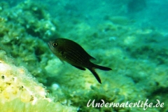 Moenchsfisch_adult-Dubrovnik-2015-010