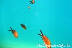 Moenchsfisch_adult-Dubrovnik-2015-011