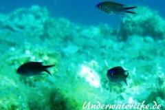 Moenchsfisch_juvenil-Dubrovnik-2015-001