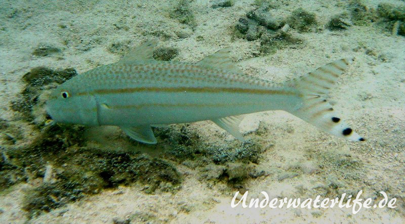 Mittelstreifen- Barbe (Upeneus tragula)_adult-Malediven-2013-01