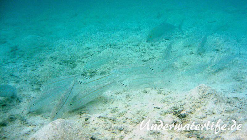 Mittelstreifen- Barbe (Upeneus tragula)_adult-Malediven-2013-06