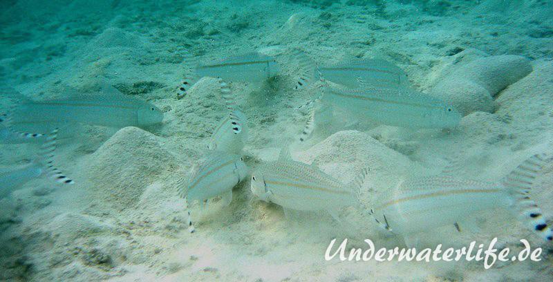 Mittelstreifen- Barbe (Upeneus tragula)_adult-Malediven-2013-07
